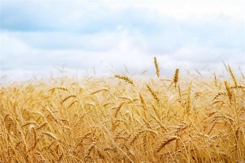 【经典散文】麦子的记忆