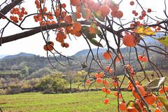 【散文随笔】柿挂枝头,沟坡点点醉染秋